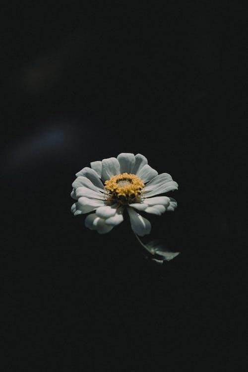 White Zinnia Flower Close-up Photography