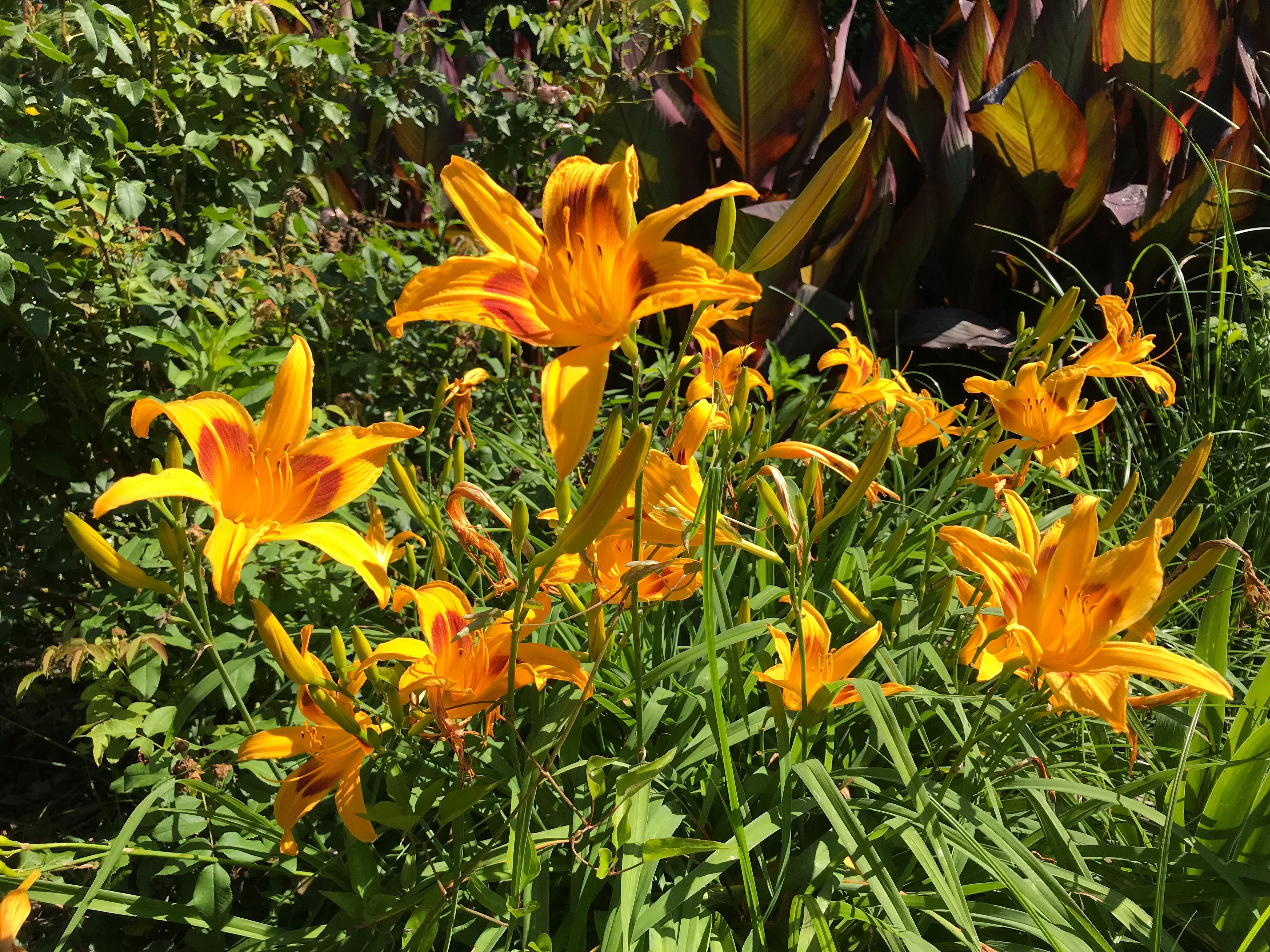Free Stock Photo Of Flower Garden Lilies