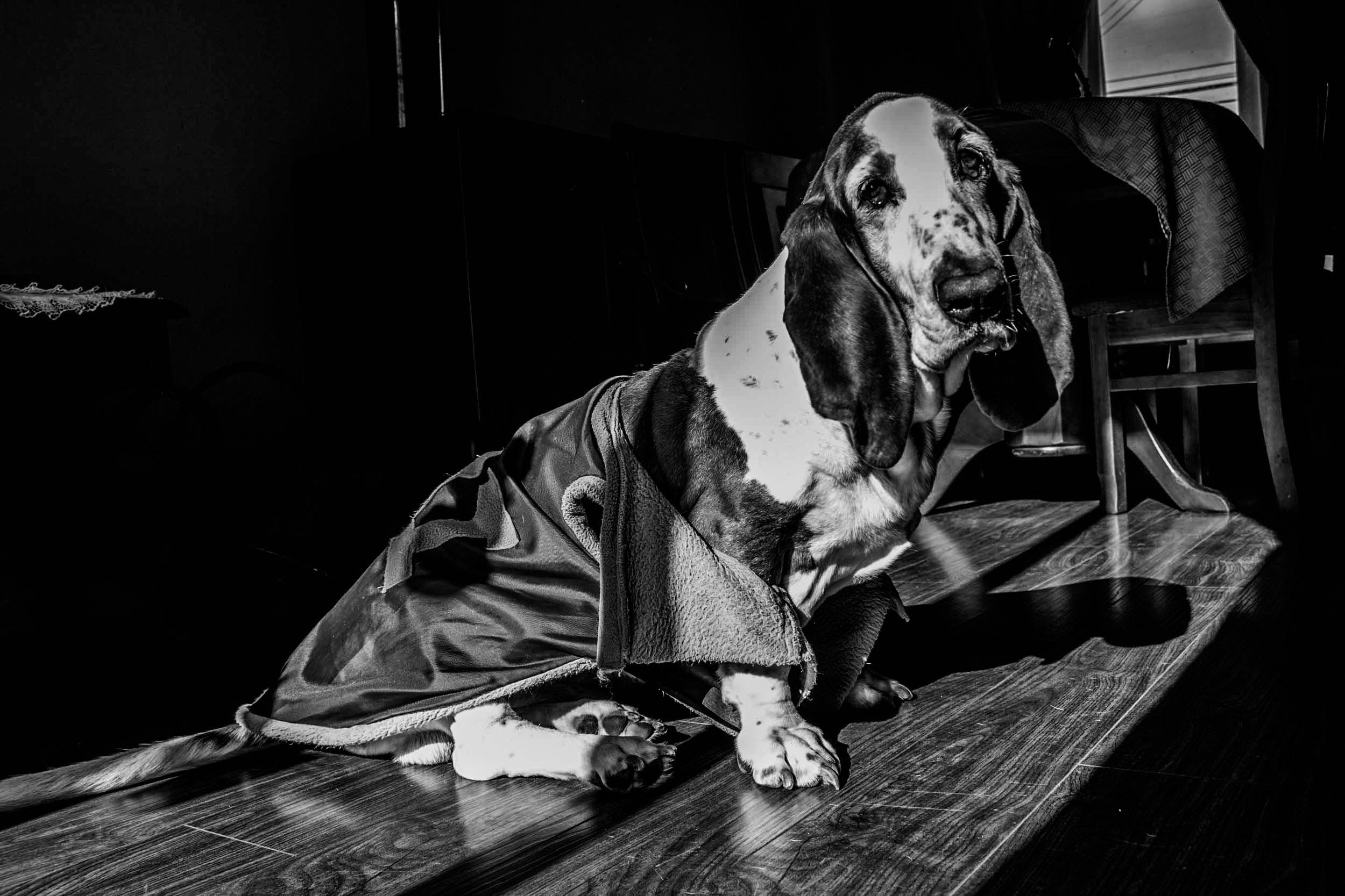 Free stock photo of #dog, basset hound, black, black and white