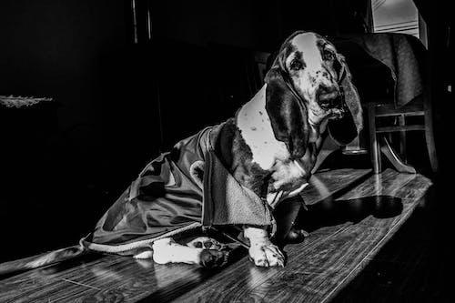 Kostenloses Stock Foto zu #hund, basset, haustier, schwarz