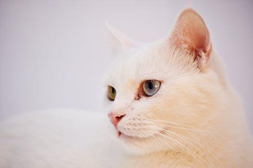 Gratis lagerfoto af blød, dyr, kæledyr, kat