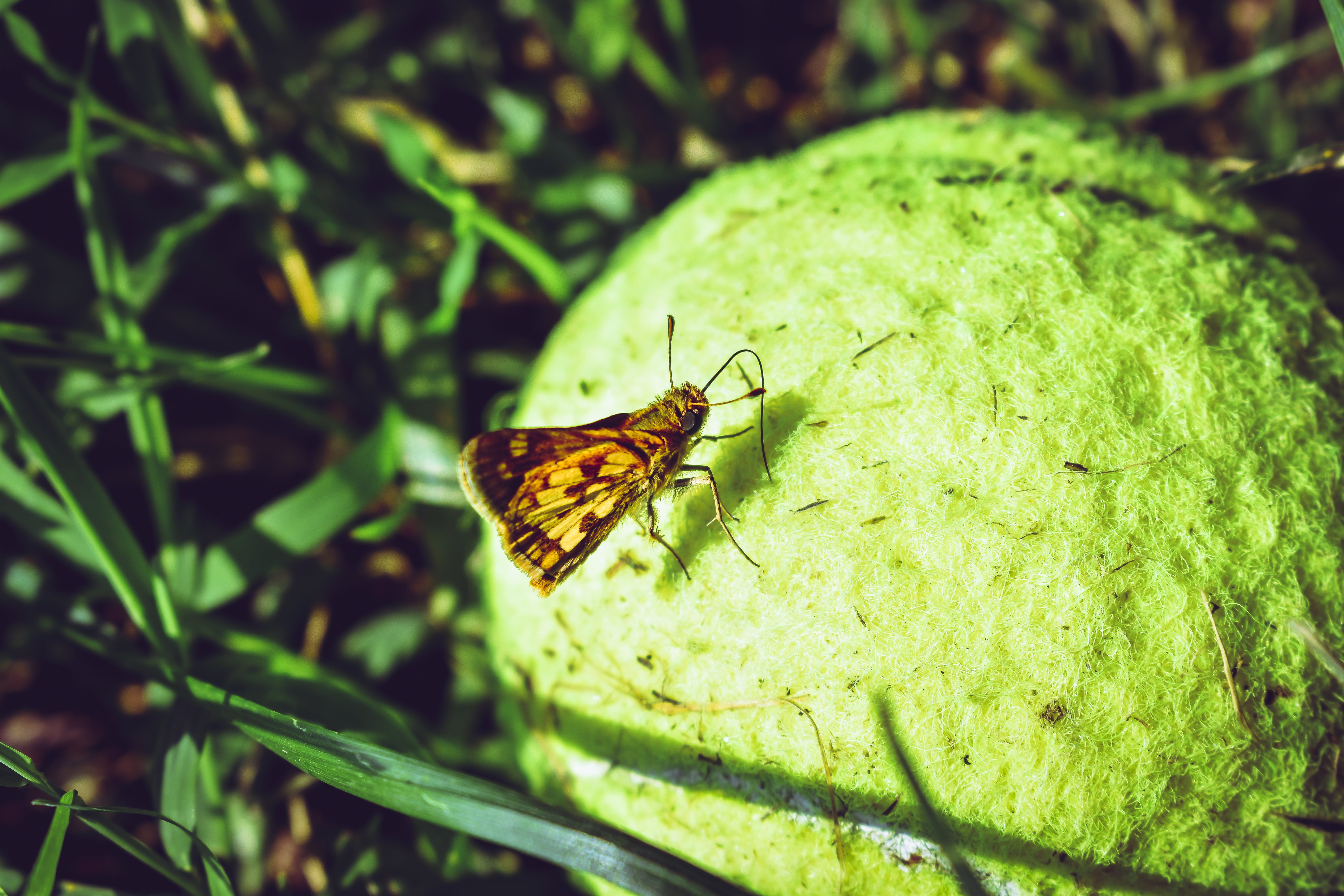 Brown Skipper Moth Perched On Ball