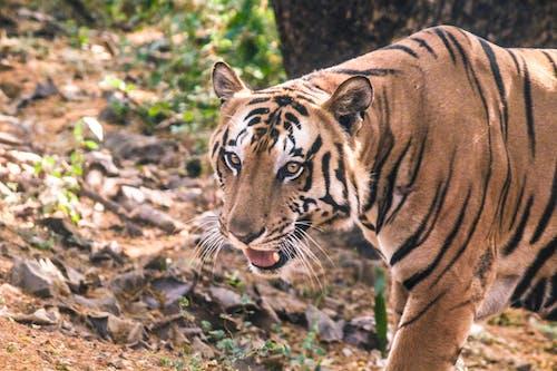 Fotobanka sbezplatnými fotkami na tému divé zviera, divoký tiger