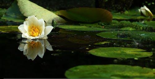 Fotos de stock gratuitas de agua, estanque, estanque de jardín, flor