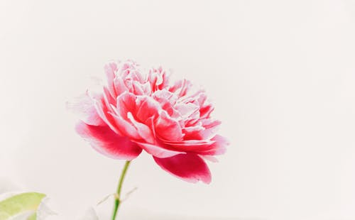 Gratis stockfoto met bloeien, bloem, bloemblaadjes, bloemen achtergrond