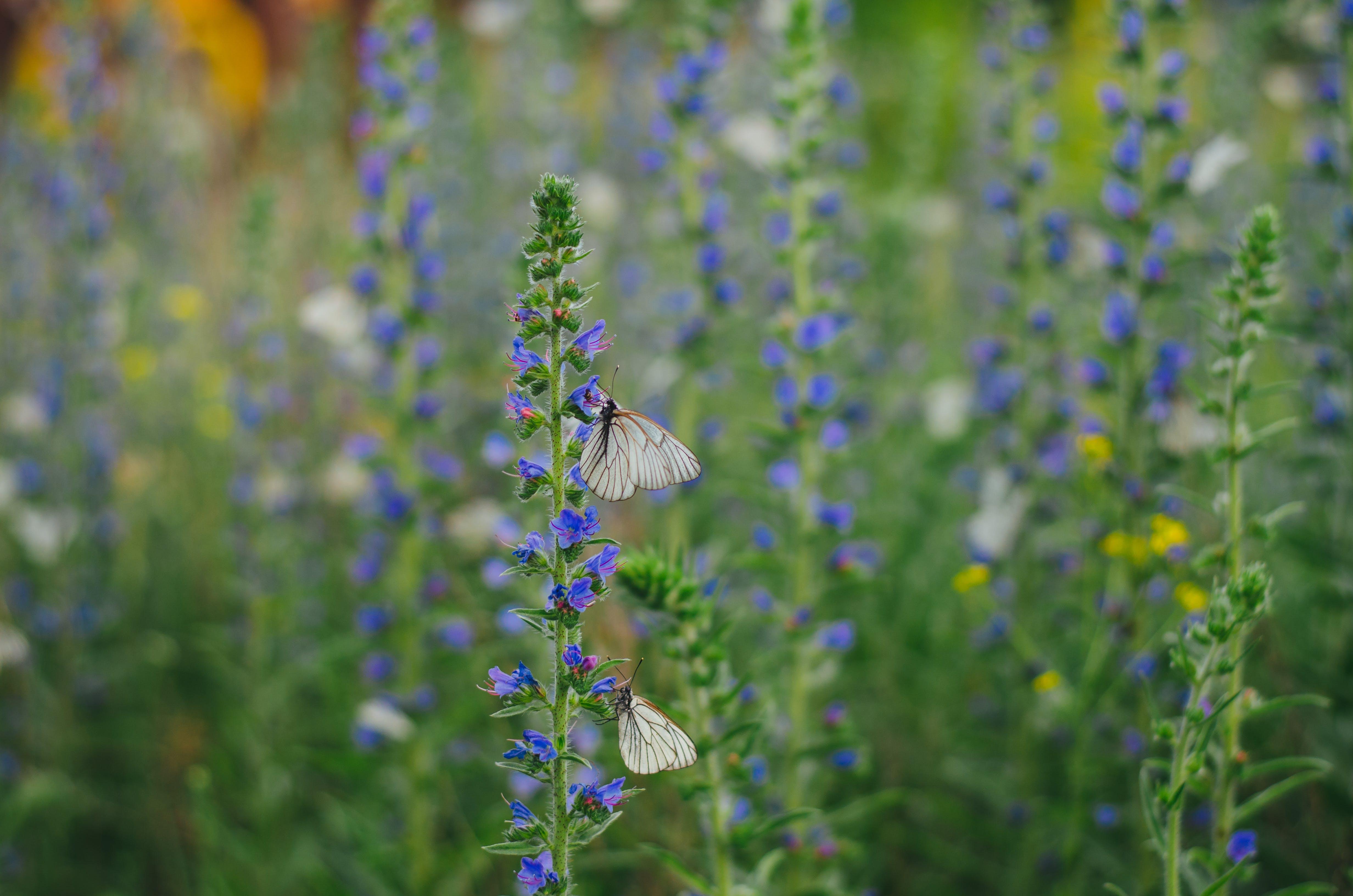 White Butterflies on Purple Flowers
