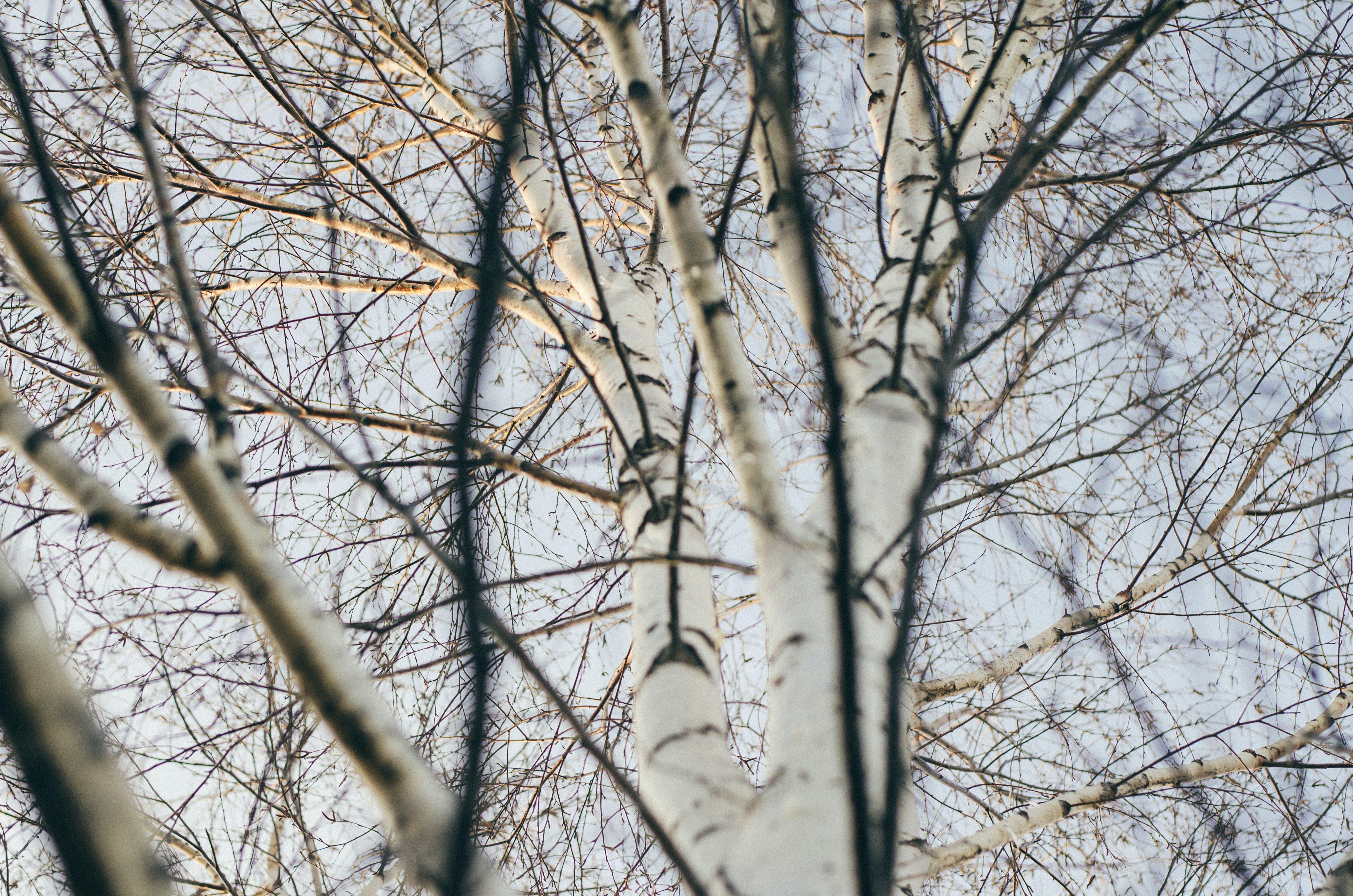 Free stock photo of березовый, белый, весна, дерево