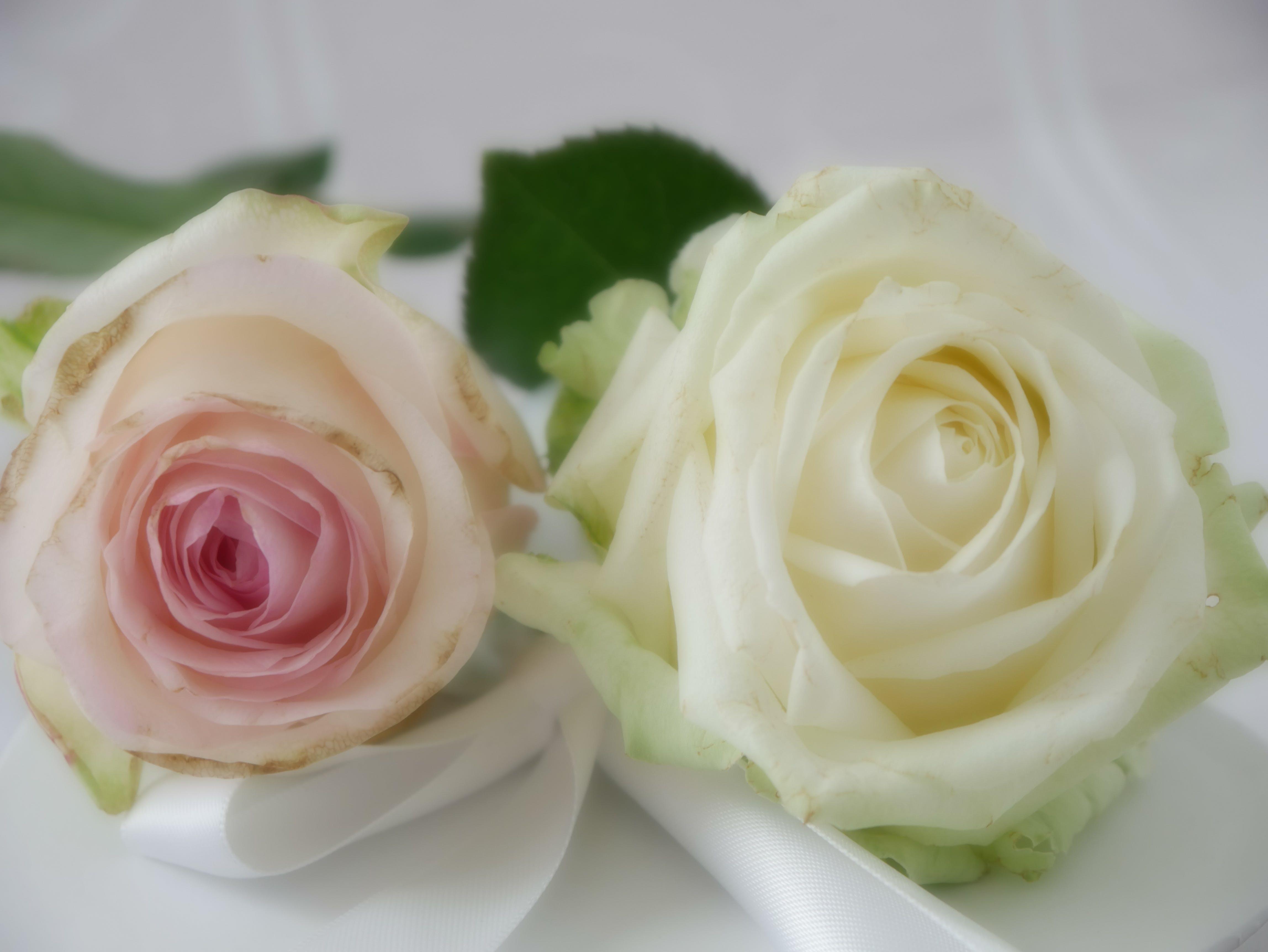 Free stock photo of love, pink, pink roses, rose petals