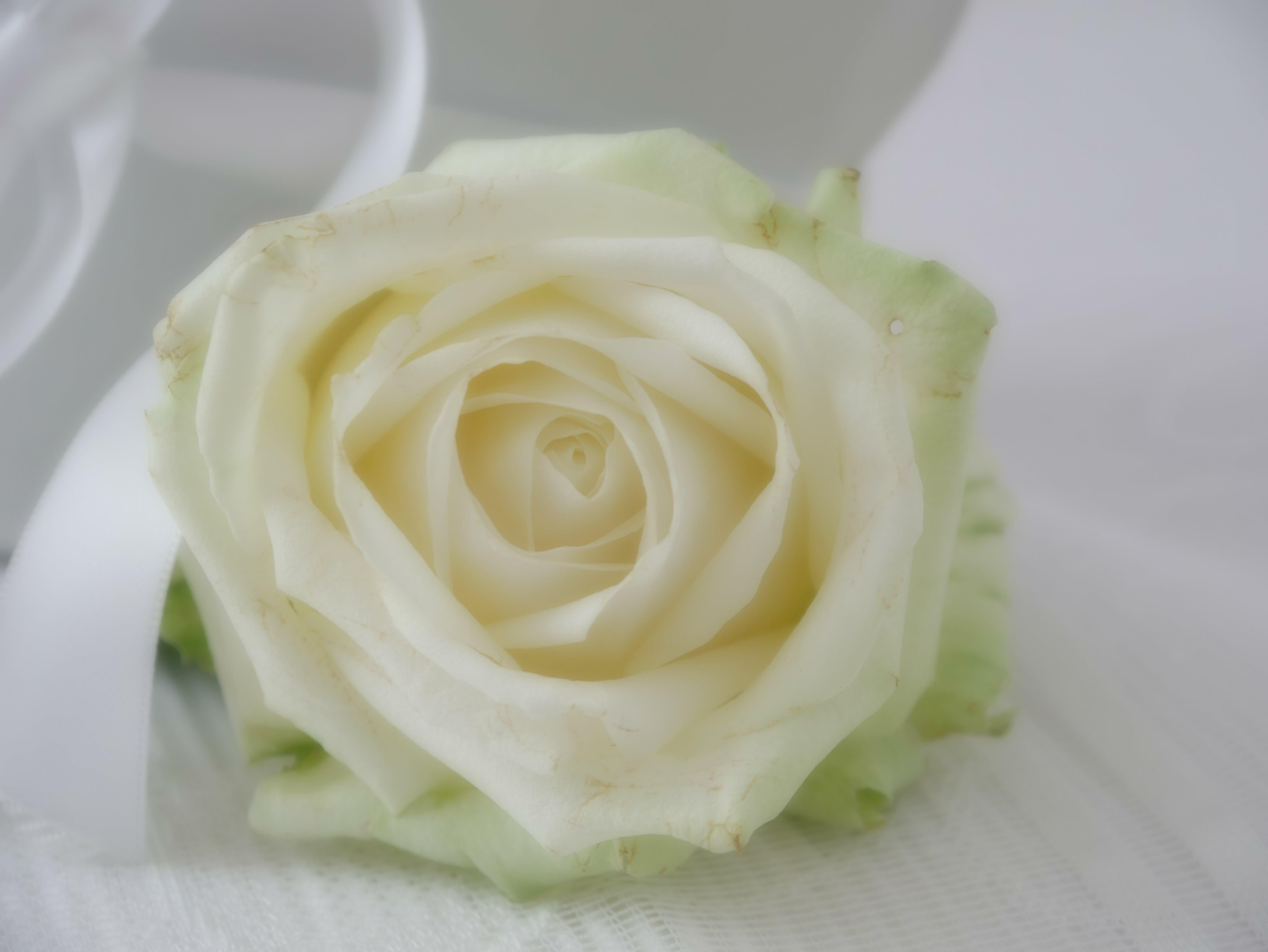 Free stock photo of love, romantic, rose, wedding