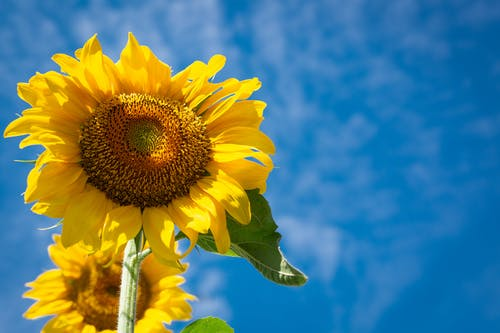 คลังภาพถ่ายฟรี ของ ดอกทานตะวัน, พฤกษา, พืช, พื้นหลังเดสก์ทอป