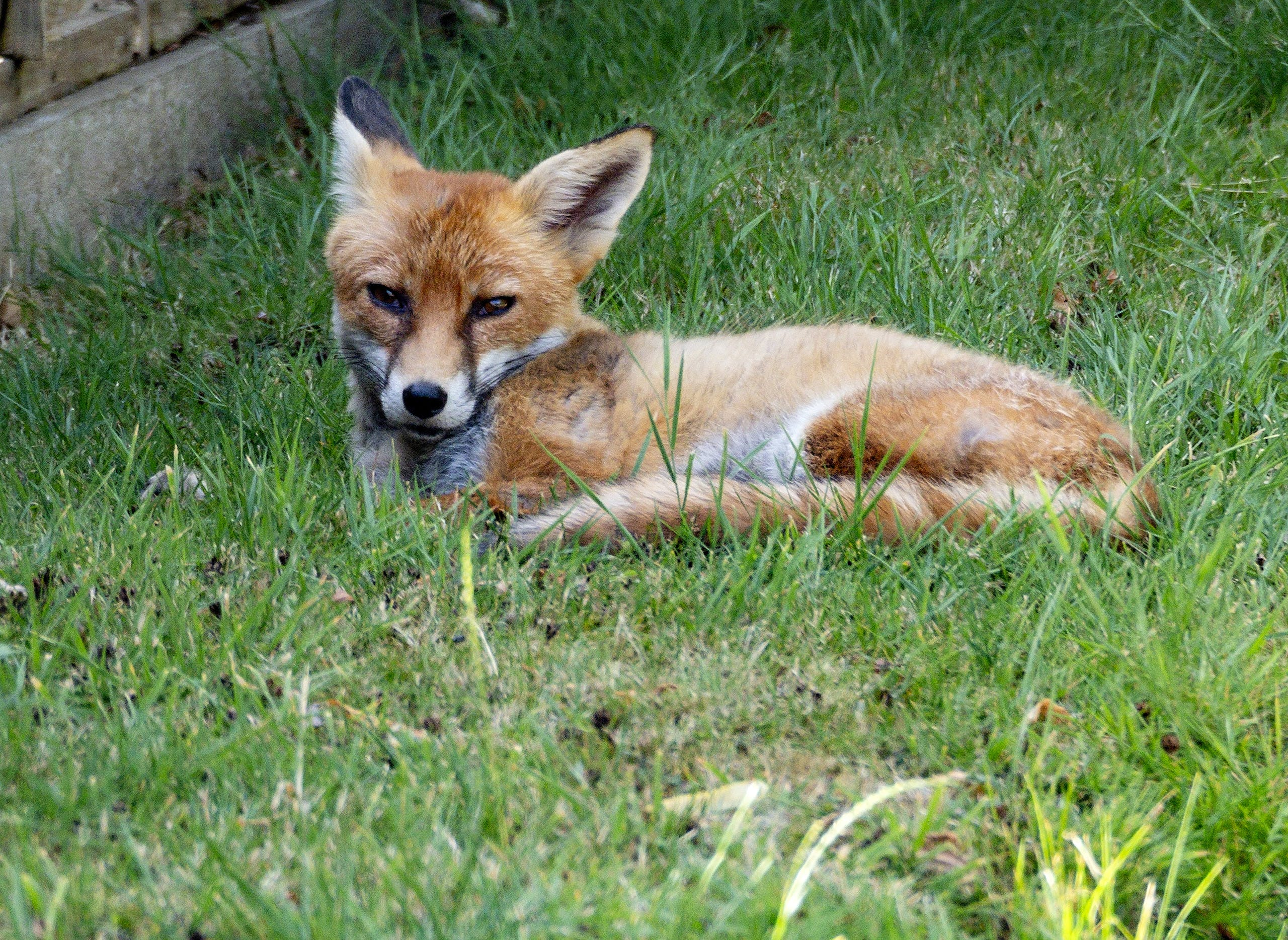Free stock photo of fox, garden, grass, urban fox