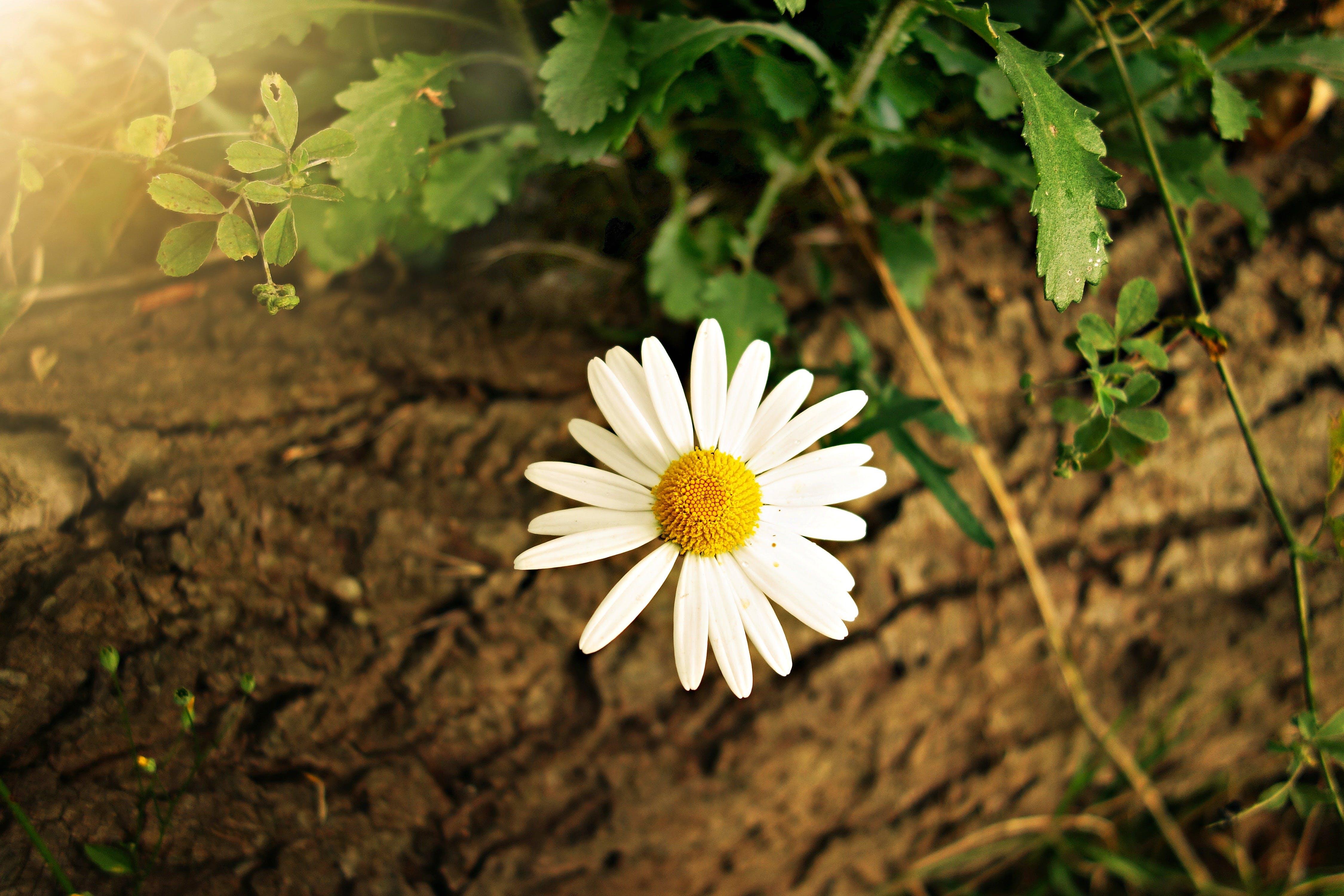 về cận cảnh, cây bụi, cúc trắng, hệ thực vật