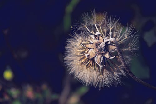 Immagine gratuita di dente di leone, fiore, flora, giardino