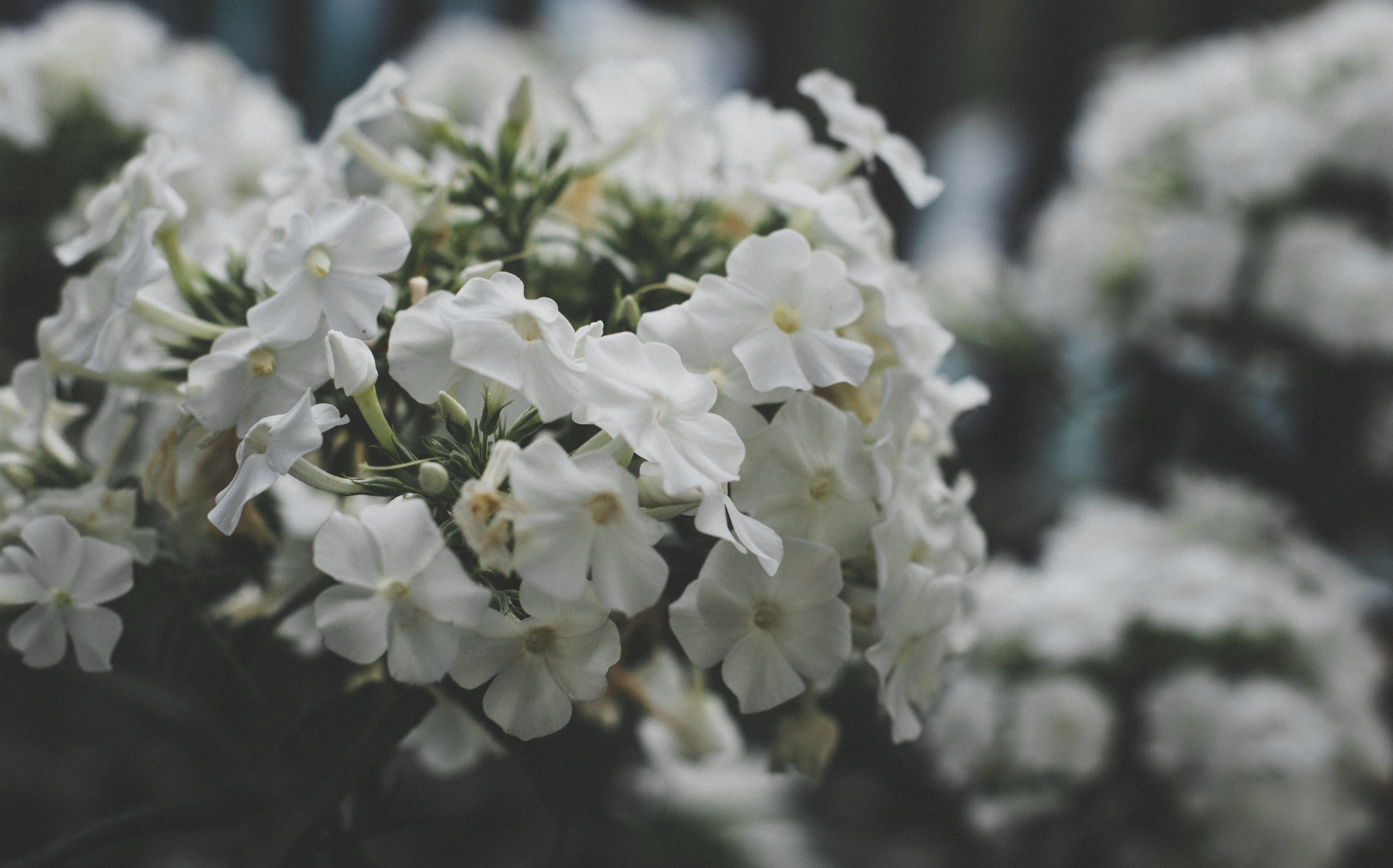 White Cluster Flowers Selective Focus Photography