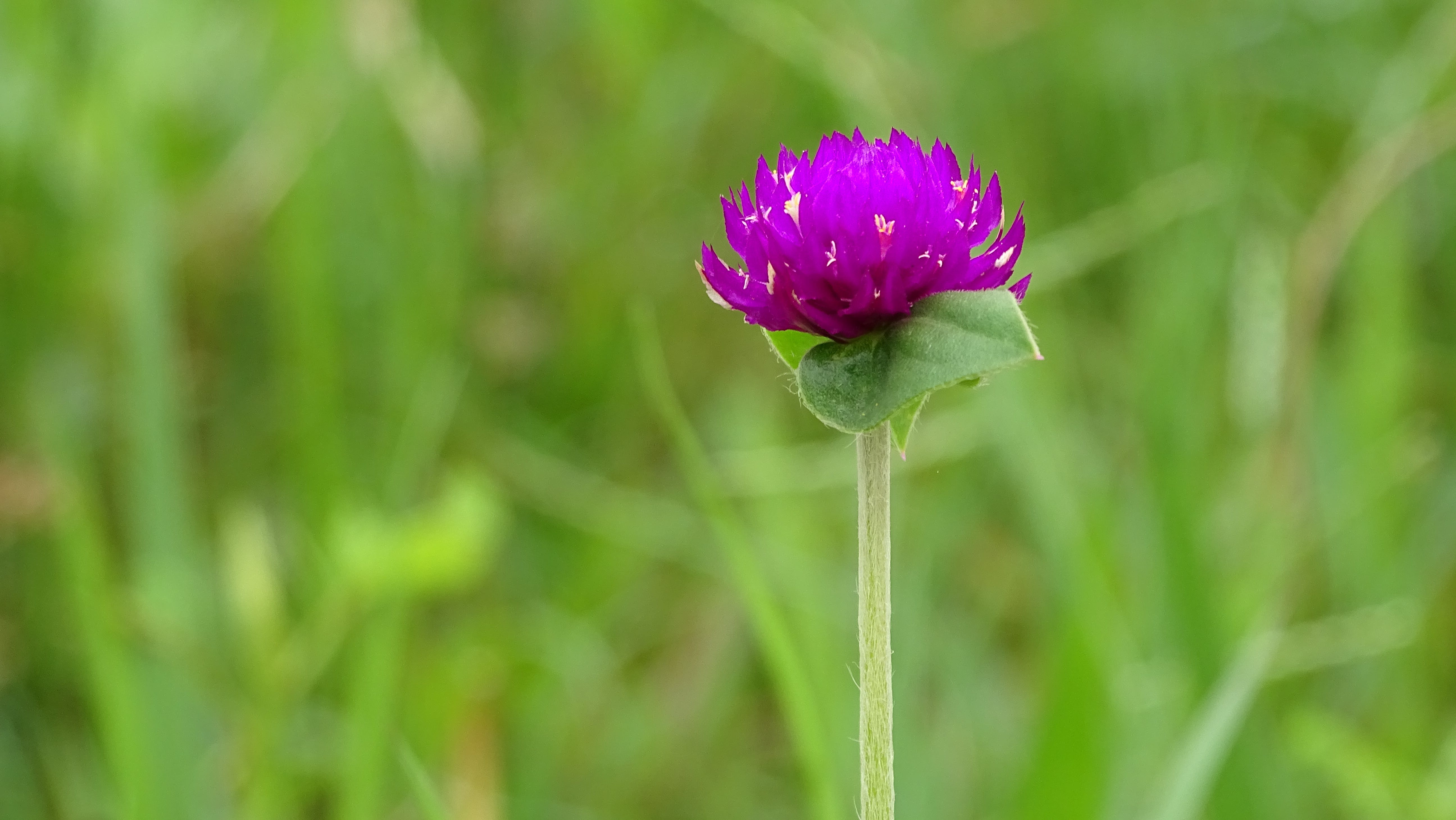 Free stock photo of beautiful flower, flower, flower photography, Gomphrena