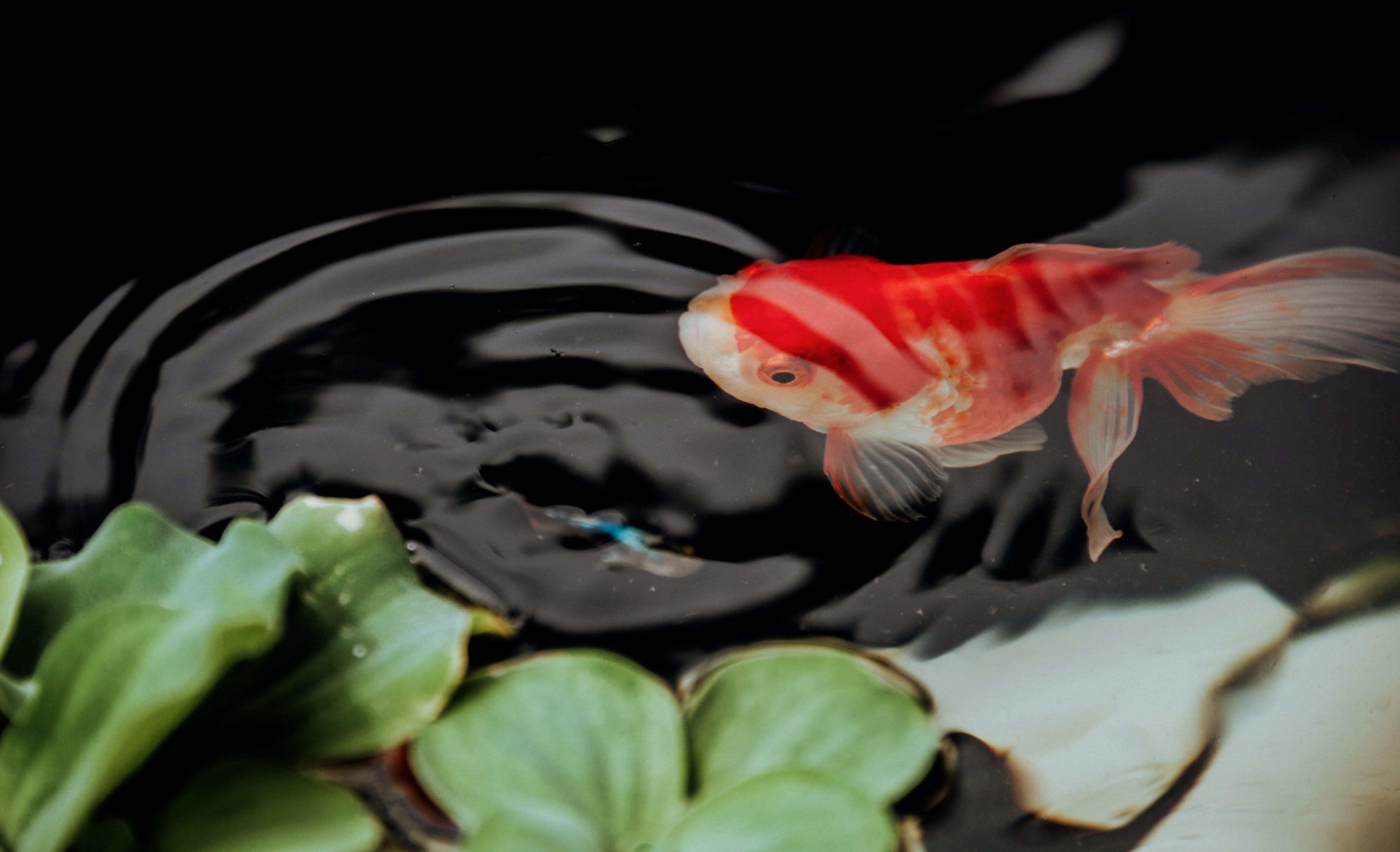 Fish On Pond