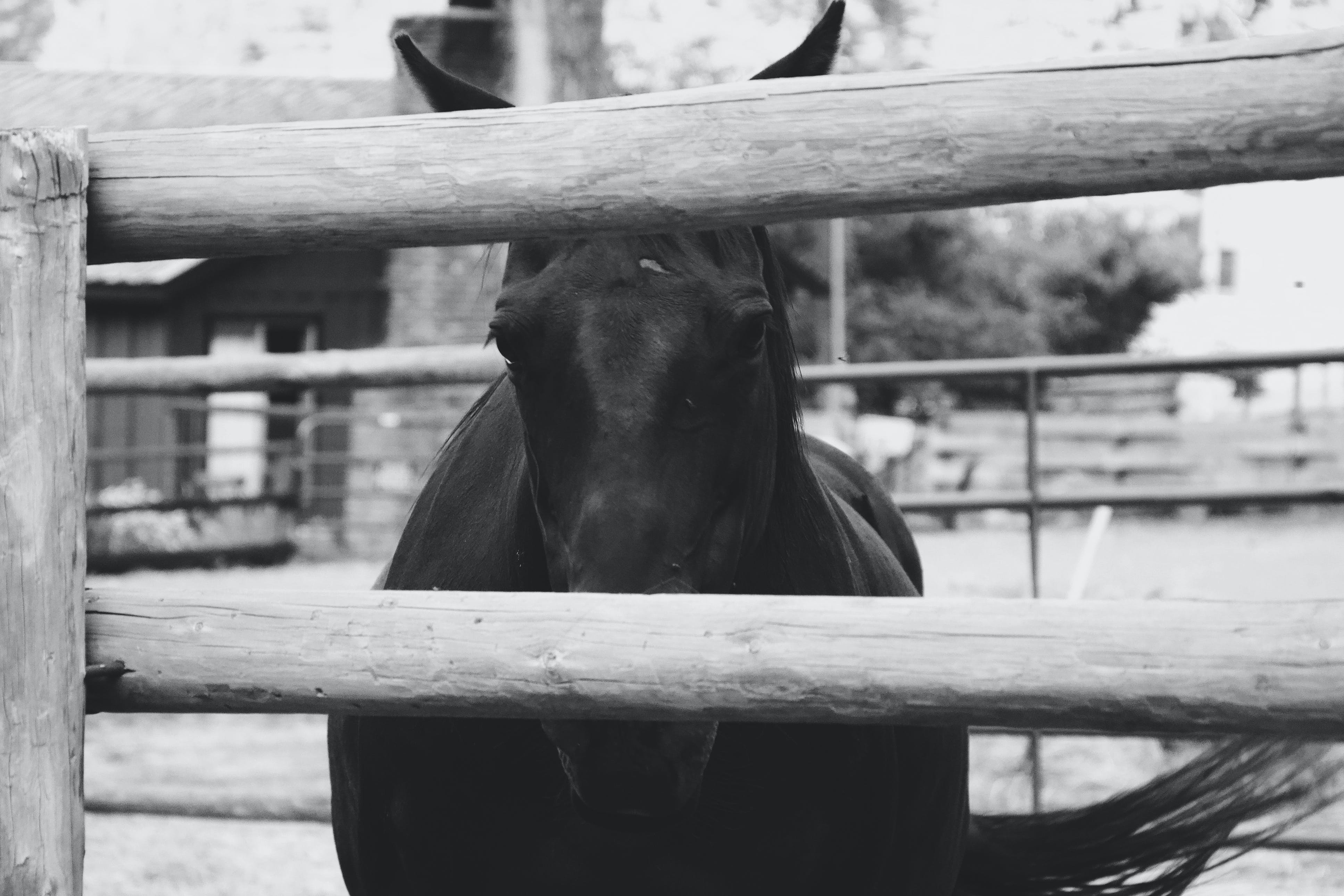 Monochrome Photo of a Horse