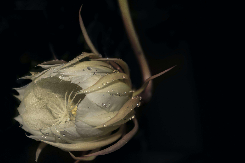 Free stock photo of #flower #plant #drops #rain #closeup #white #black
