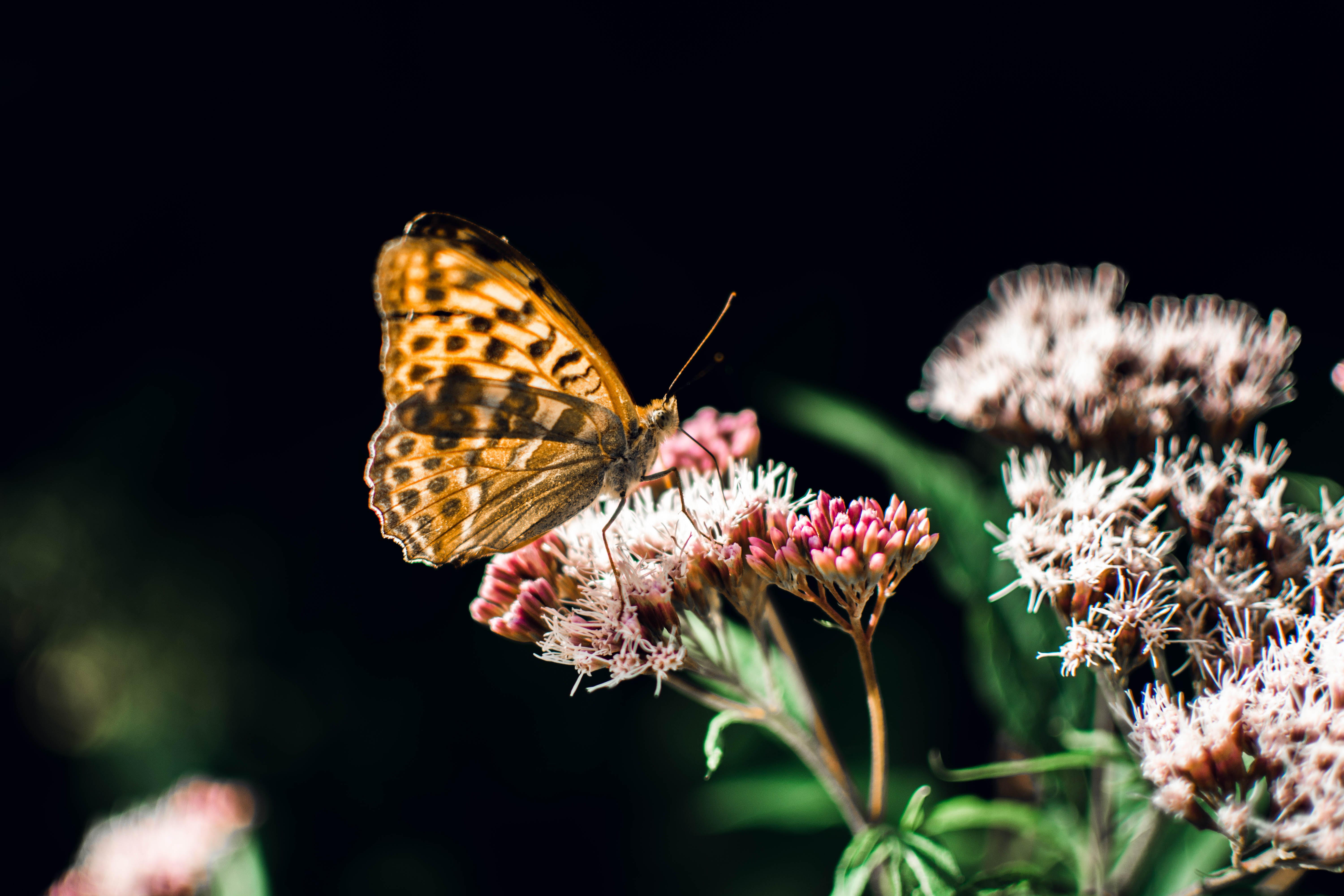 Brown Butterfly Perched on Pink Flower