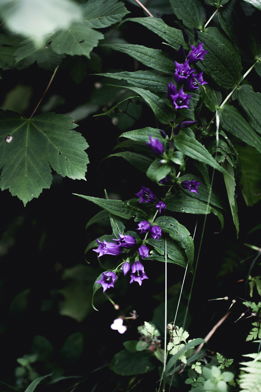Purple Campanula Flowers Closeup Photography