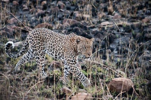 Kostenloses Stock Foto zu afrika, katze, leopard, natur