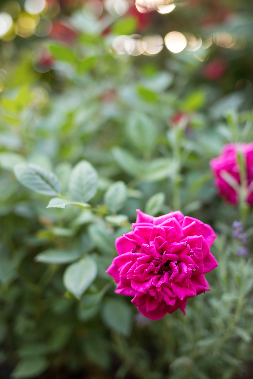 Kostenloses Stock Foto zu blume, garten, pinke rose