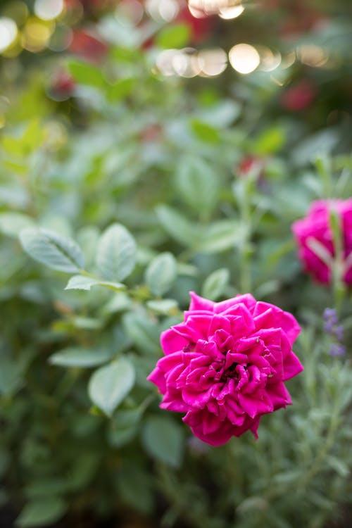ピンクのバラ, 庭園, 花の無料の写真素材