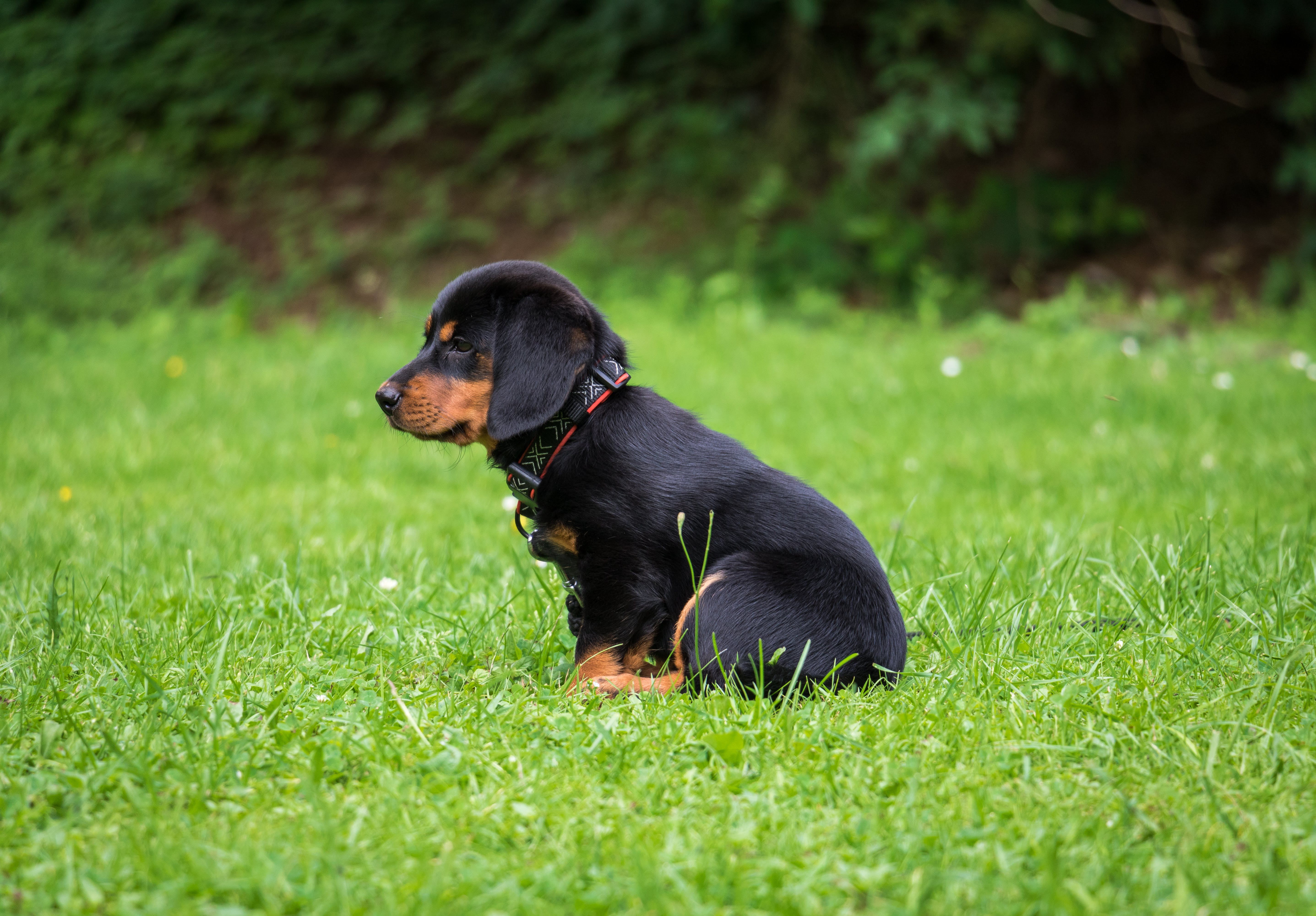 Black and Brown Rottweiler Puppy