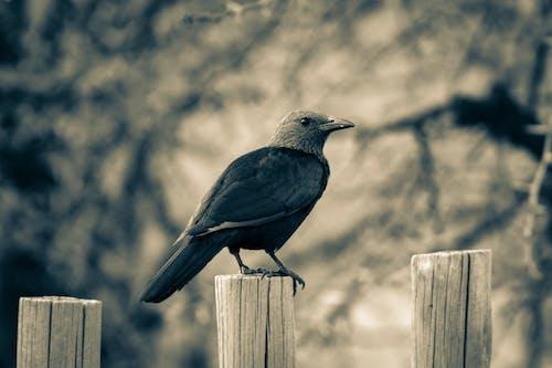 Kostenloses Stock Foto zu federn, gucken, krähe, landschaft