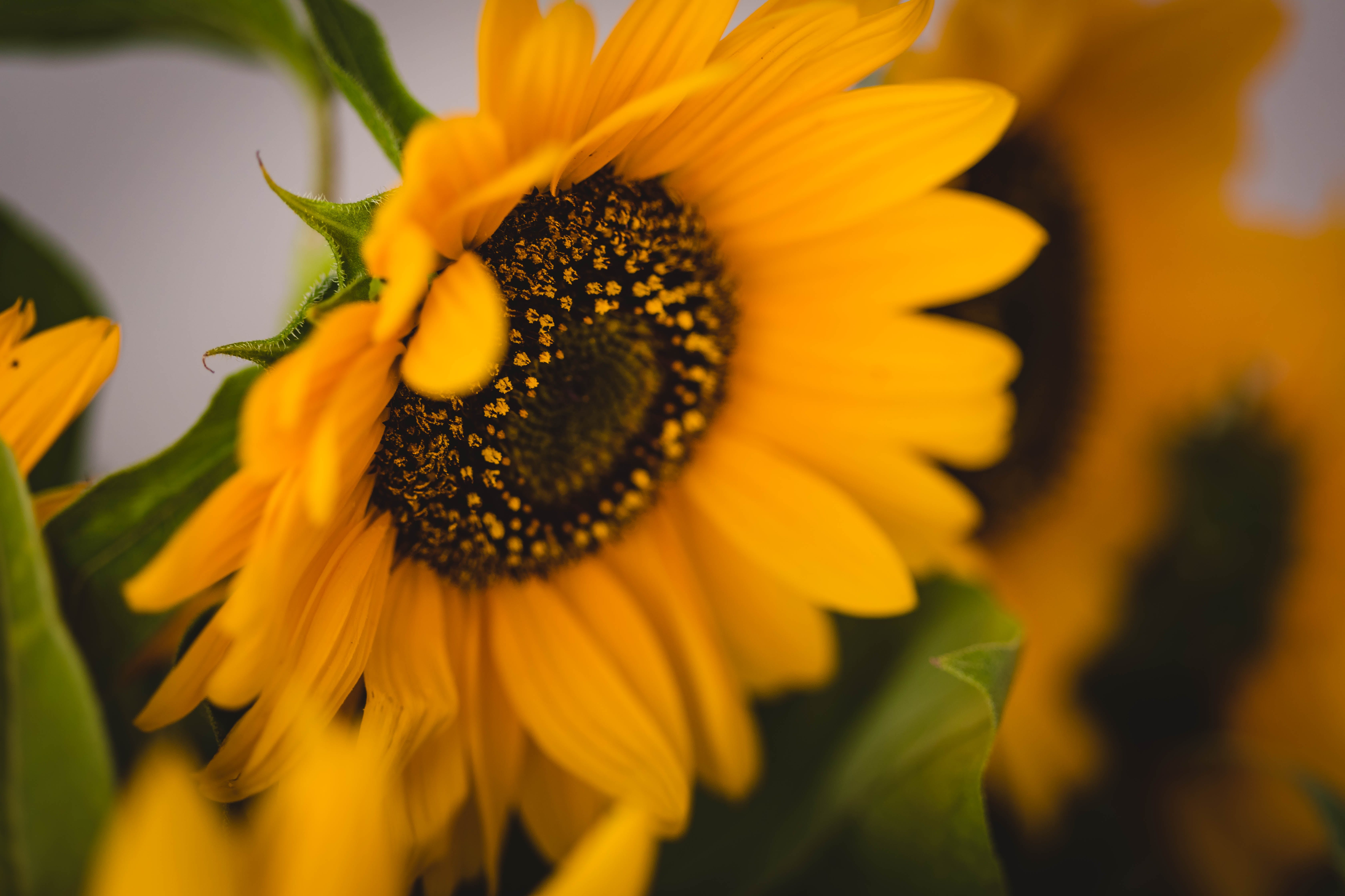 Shallow Focus of Sunflower