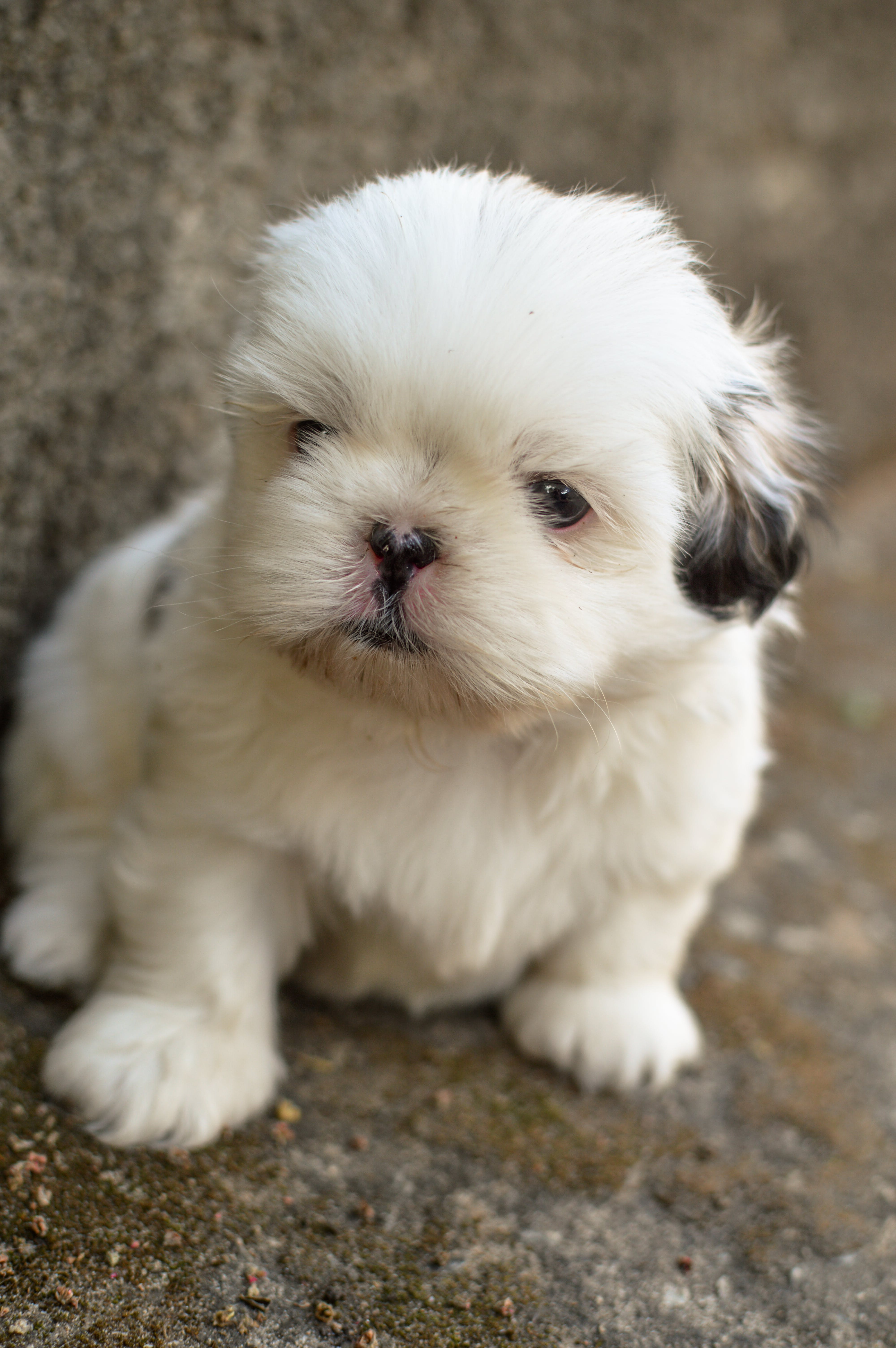 White and Black Shih Tzu Puppy