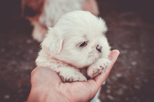 Selective Focus Photography of Person Holding White Maltese Puppy