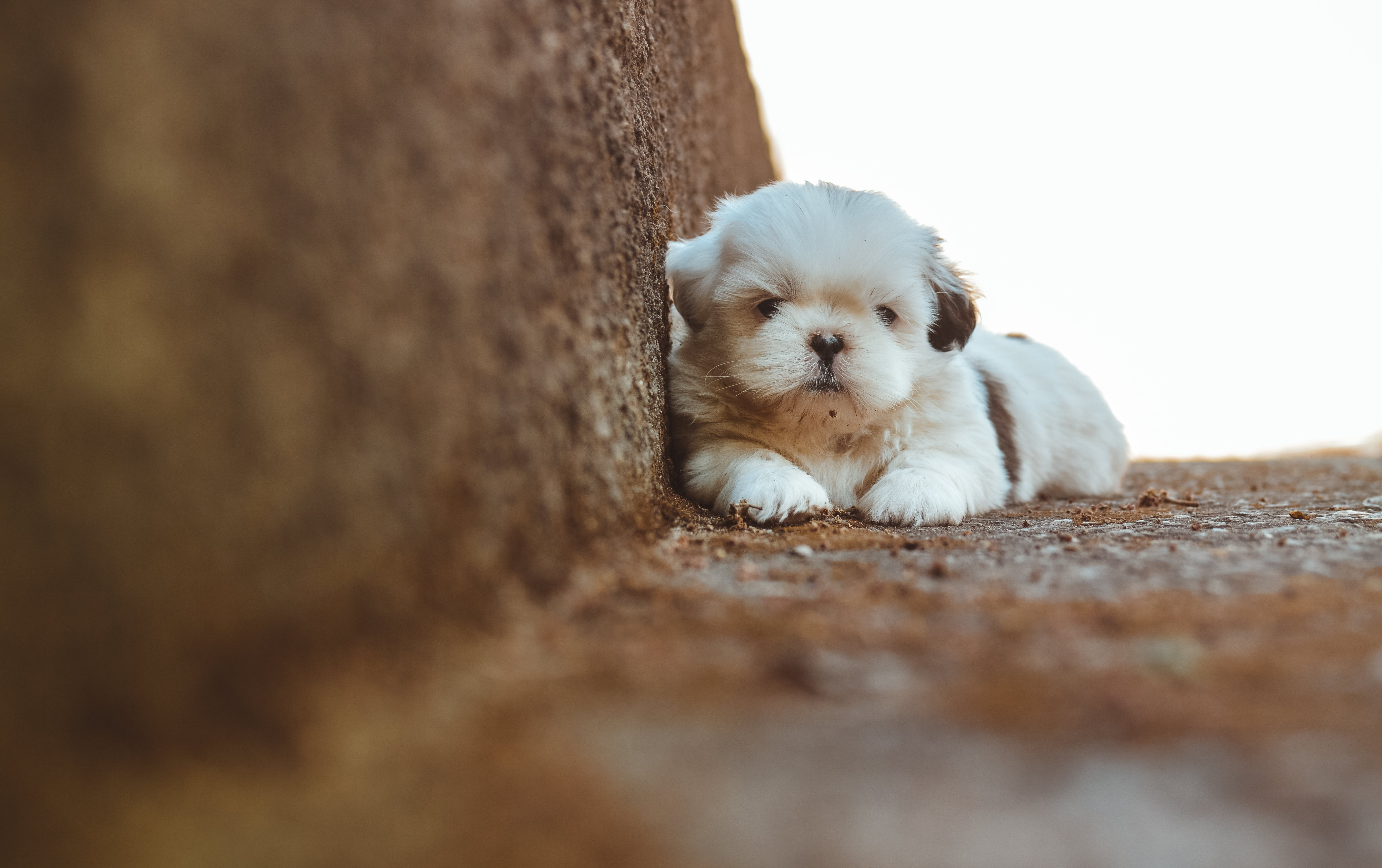 Selective Focus Photography of Shih Tzu at the Staircase