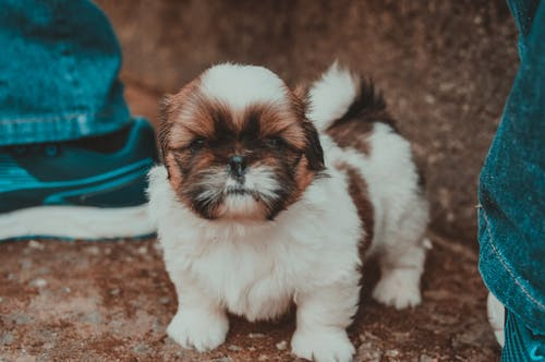 Selective Focus Photography of Tan and White Shih Tzu