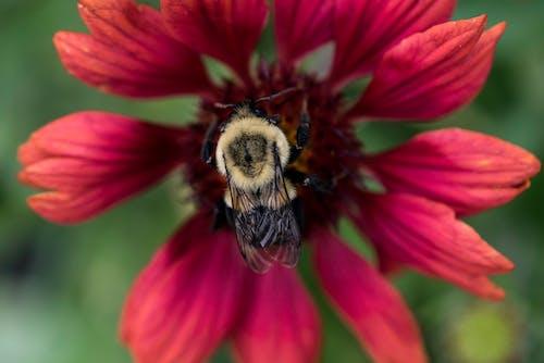 Foto profissional grátis de abelha, erro, flor, inseto