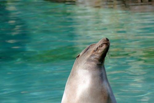 Gratis stockfoto met beest, dierentuin, h2o, zeehond