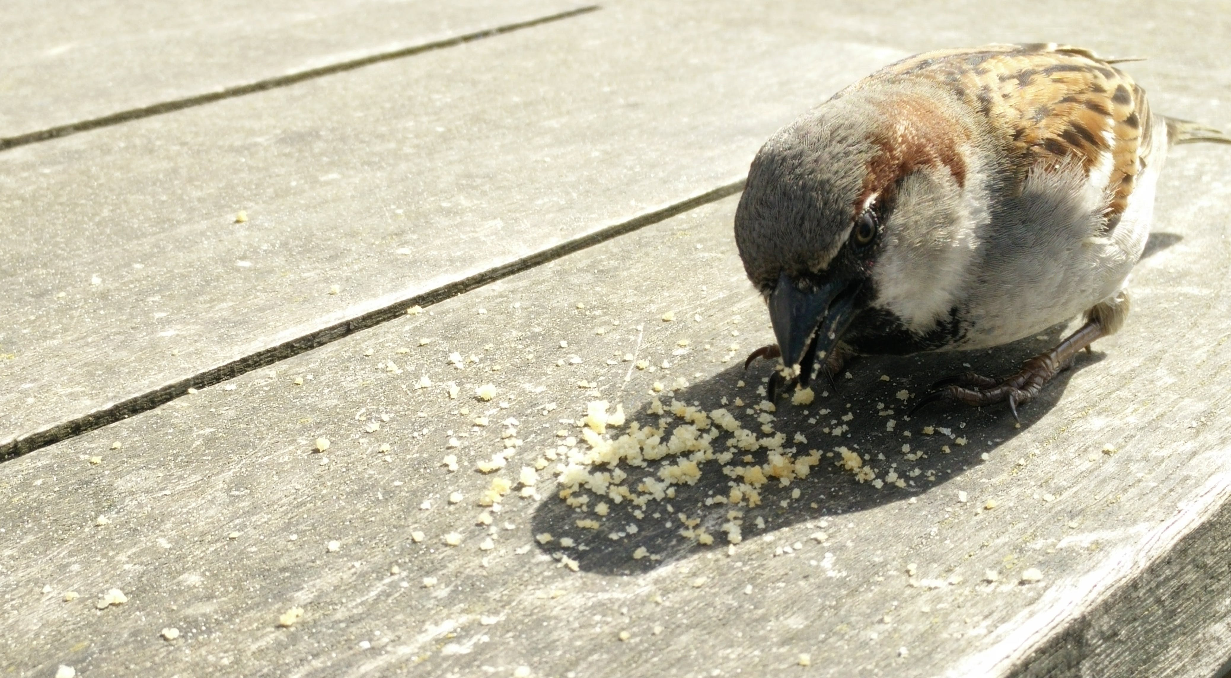 Free stock photo of bird, bread, eating, sparrow