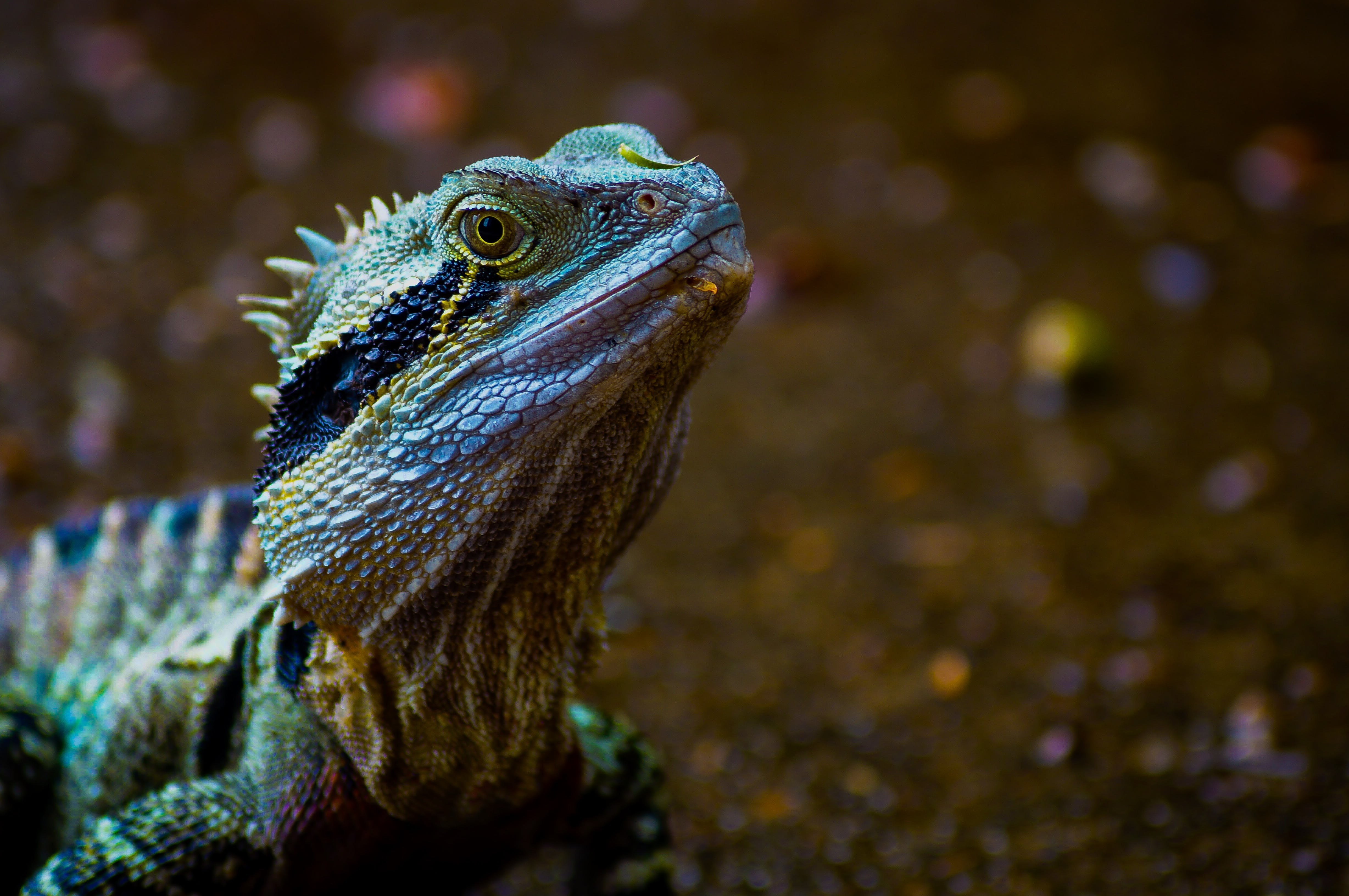 animal, Australian water dragon, close-up