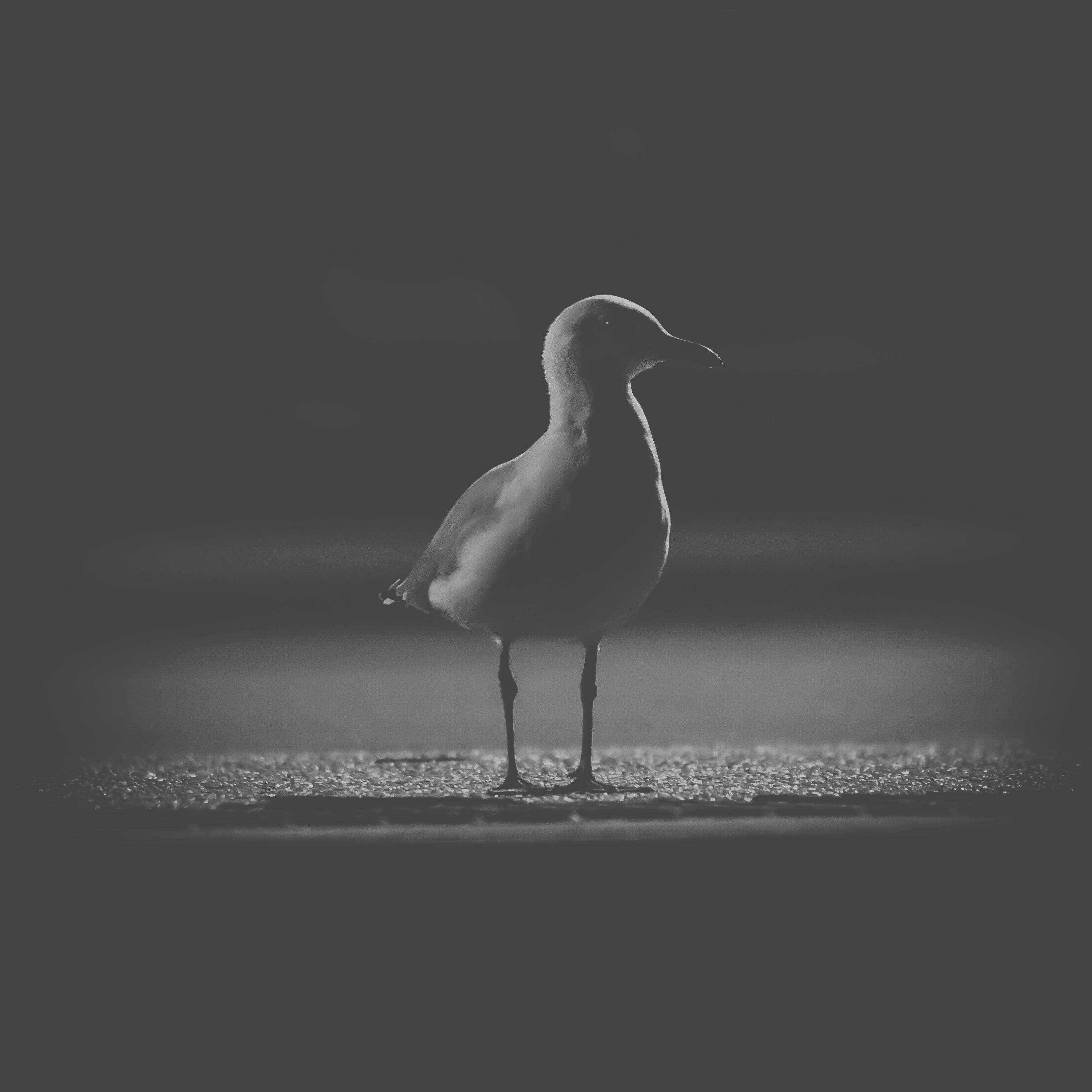 Free stock photo of black and white, dark, night photography, sea bird