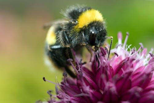Yellow and Black Honeybee on Pink Petaled Flower