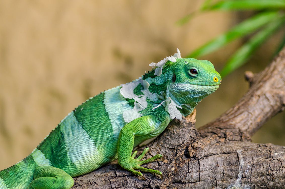 Green Iguana on Brown Branch Closeup Photo