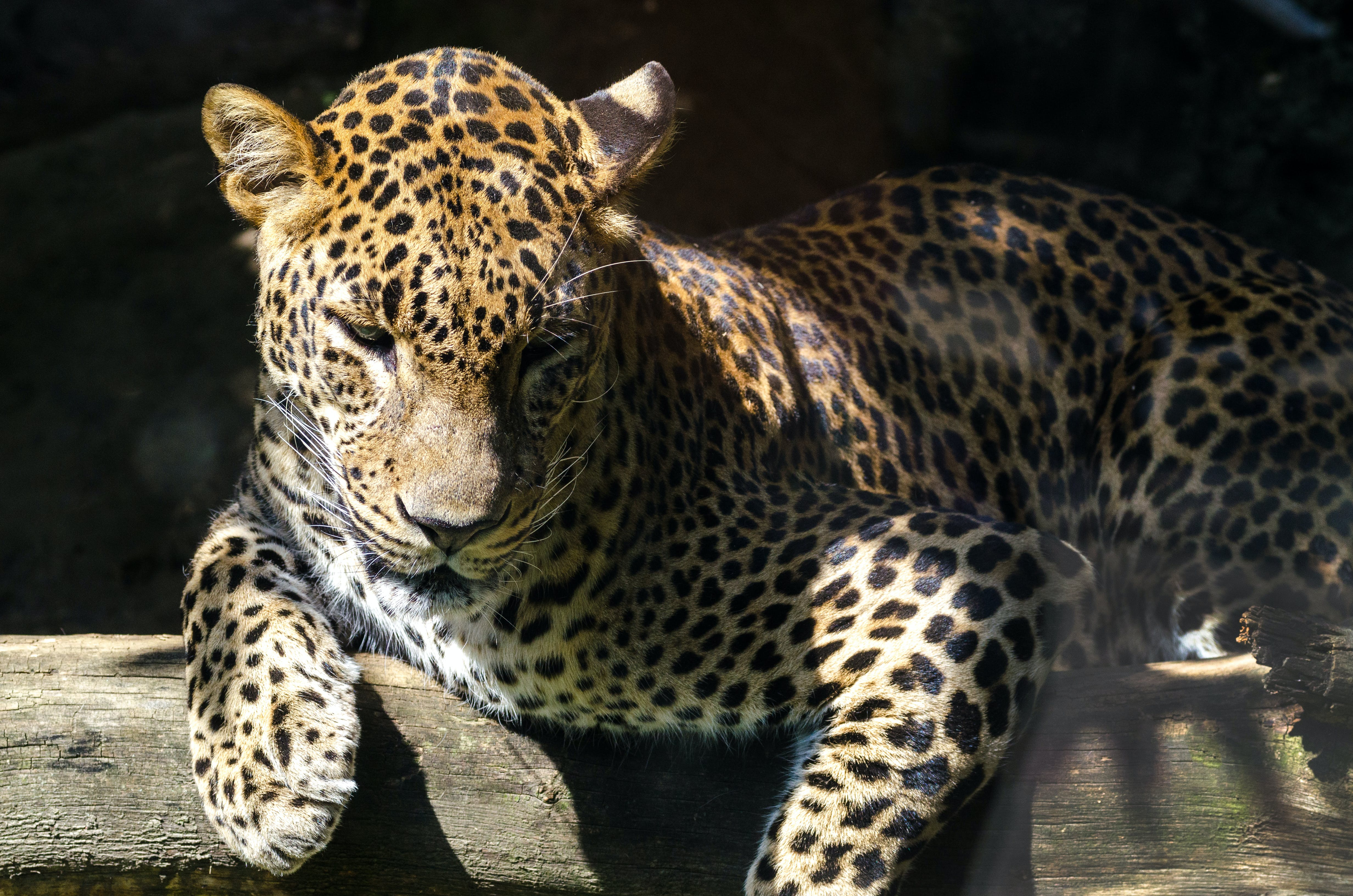 Leopard Laying on Brown Wood Log