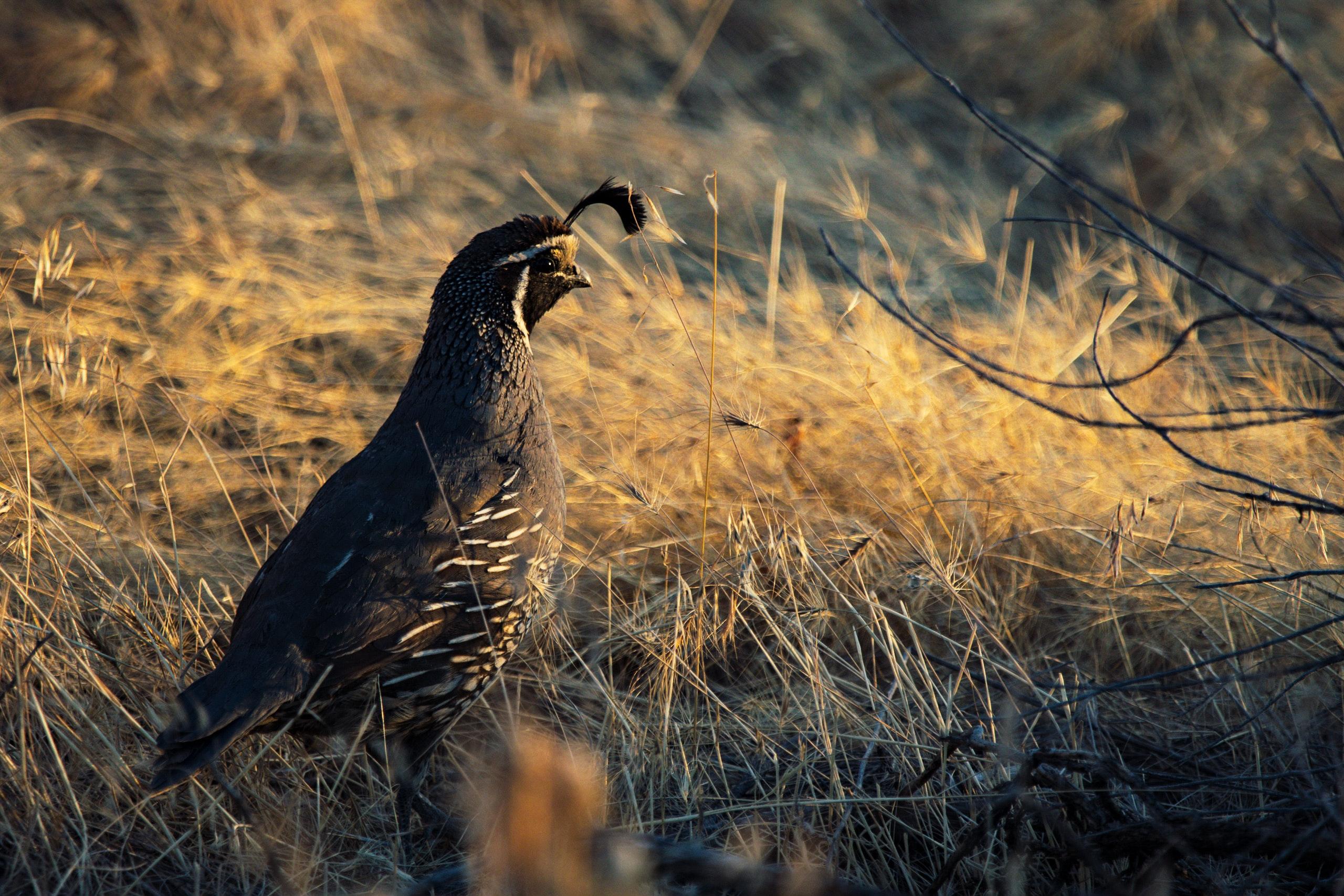 98 Koleksi Gambar Binatang Burung Puyuh HD Terbaik