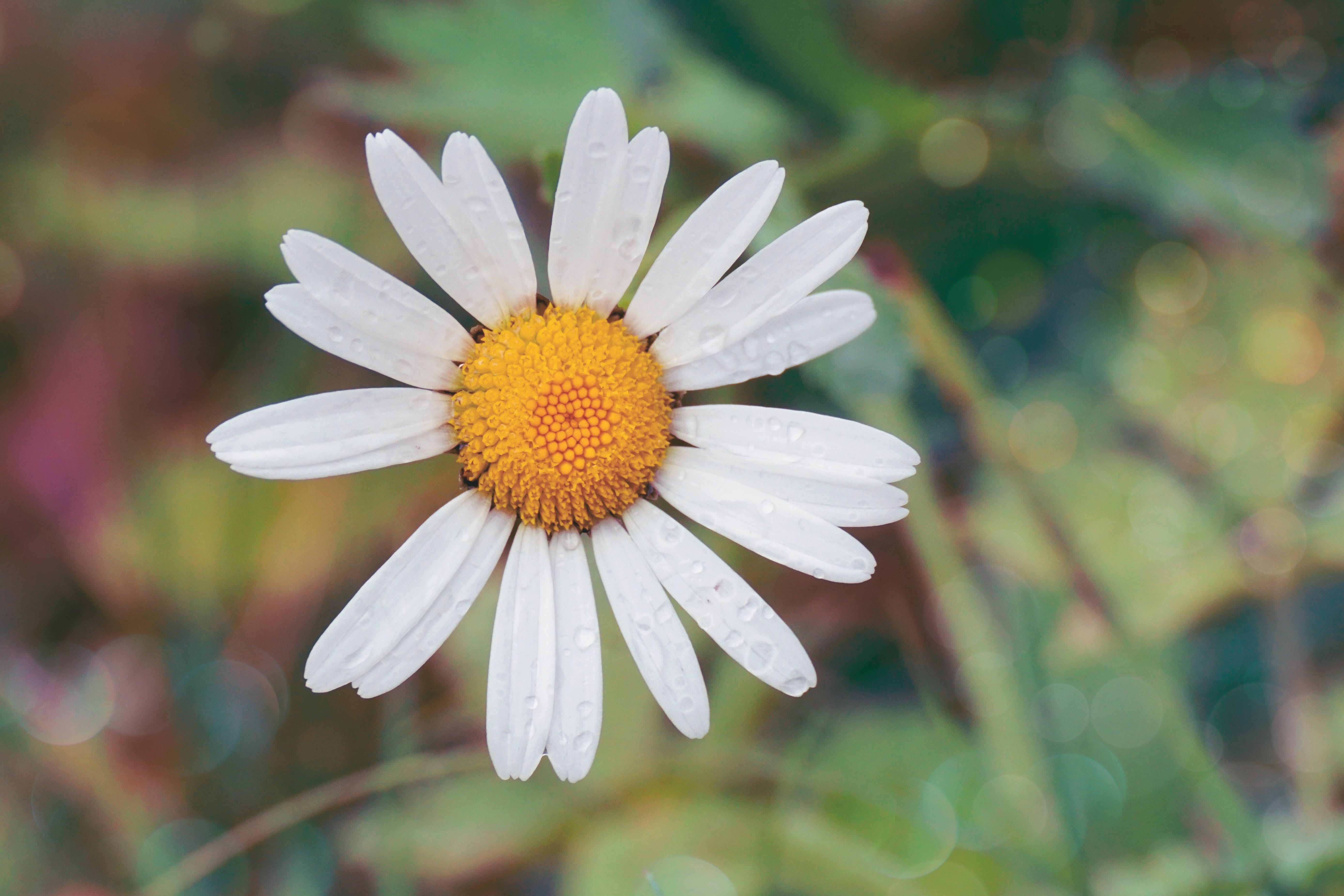 White Daisy Flower With Water Dew