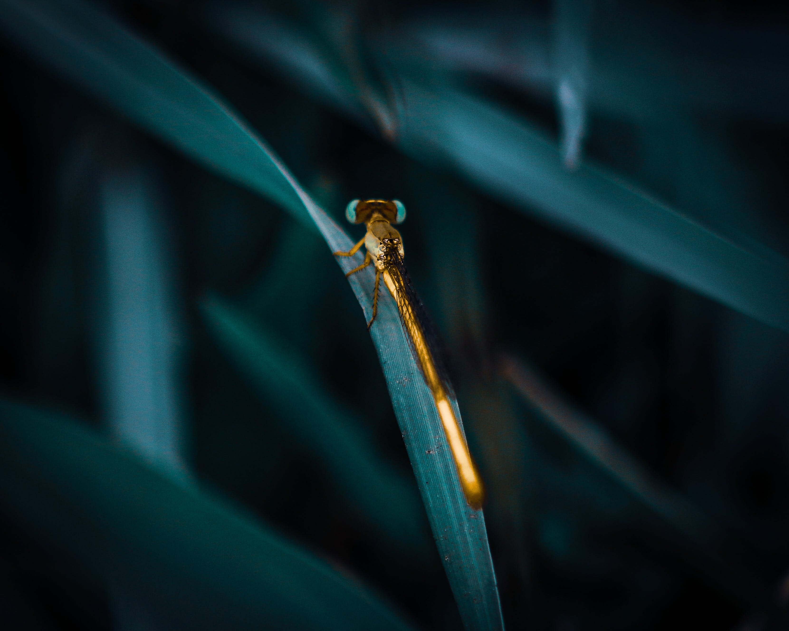 Selective Focus Photography of Gold Damselfly