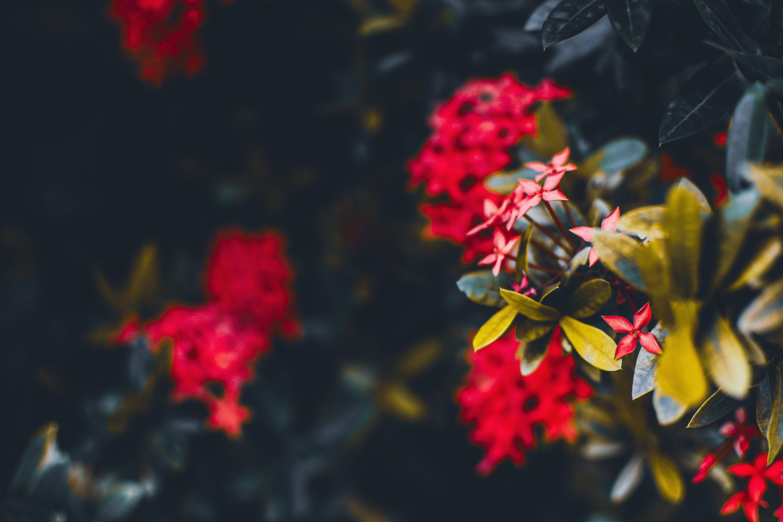 Close Up Photo of Red Ixora Plant