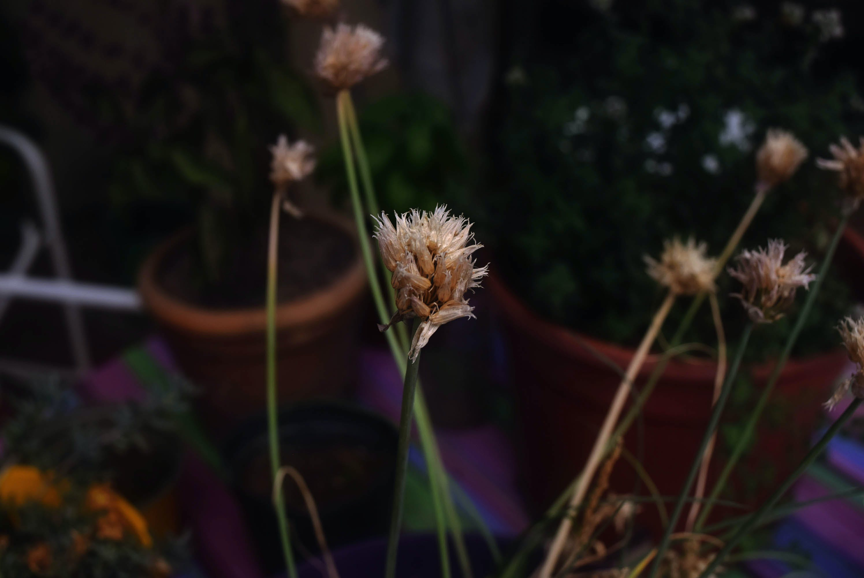 Free stock photo of autumn, autumn colors, beautiful flowers, dried flowers
