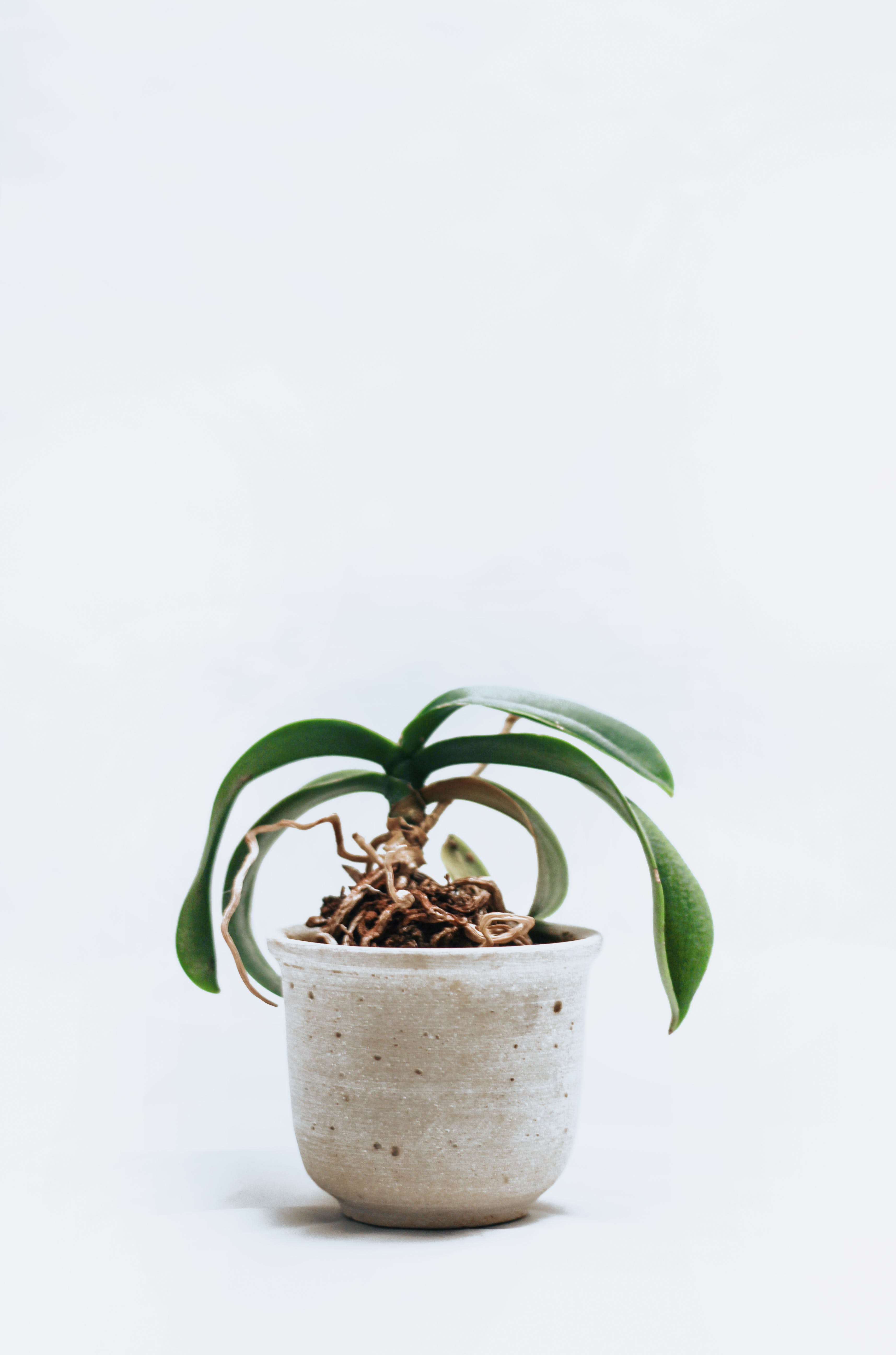 Green-leafed Orchid Plant on Pot
