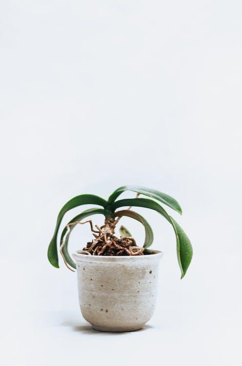 béžová, črepník, črepníková rastlina