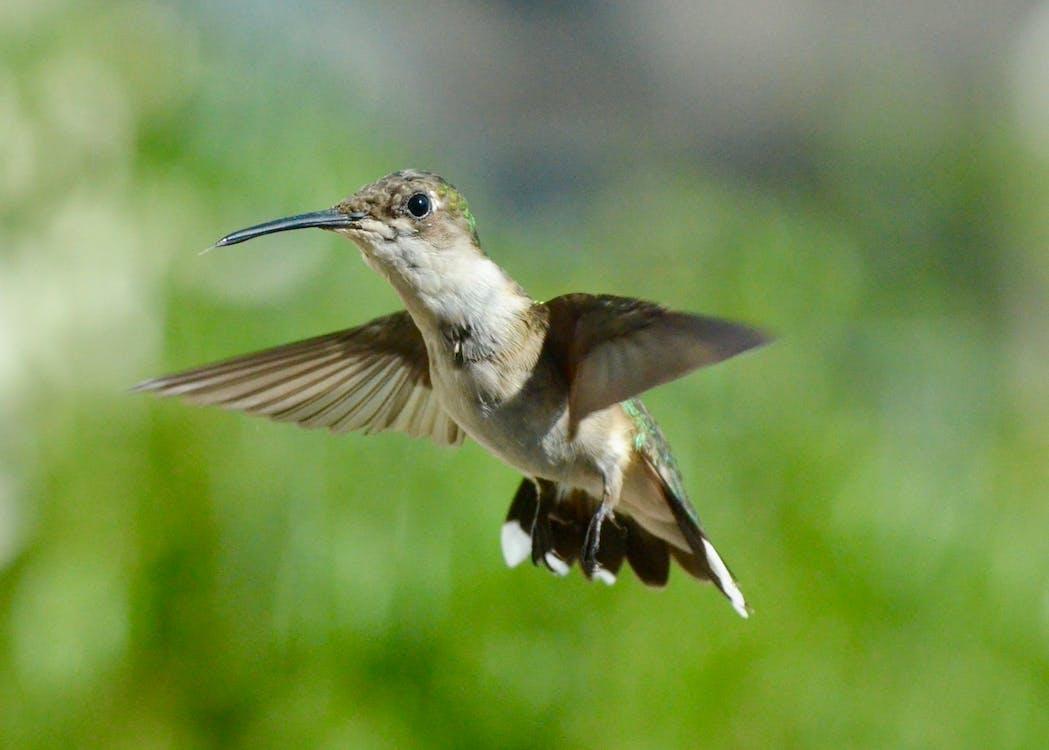ali, animale, colibrì
